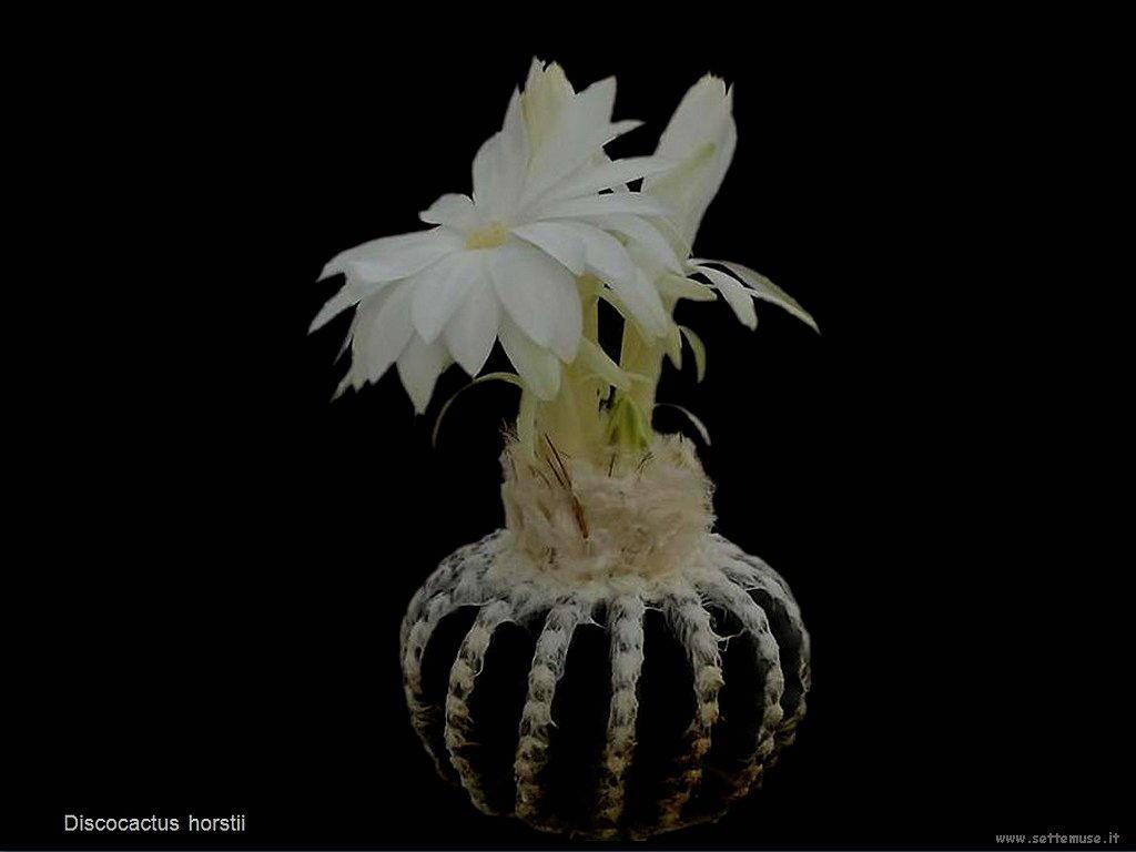 cactus 208