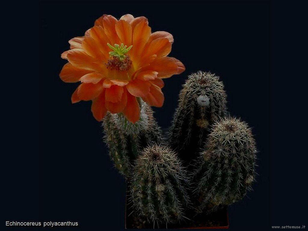 cactus 210