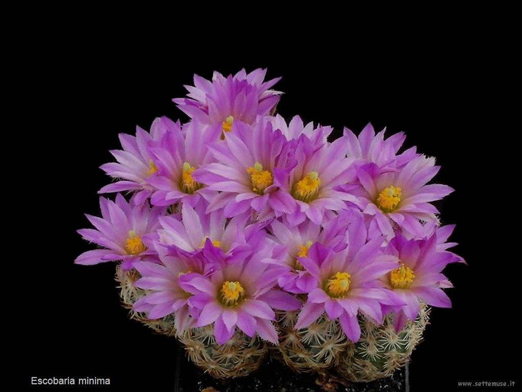 cactus 211