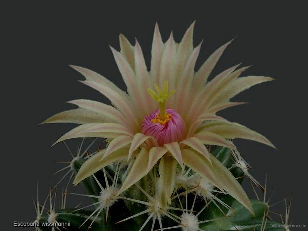 cactus 212