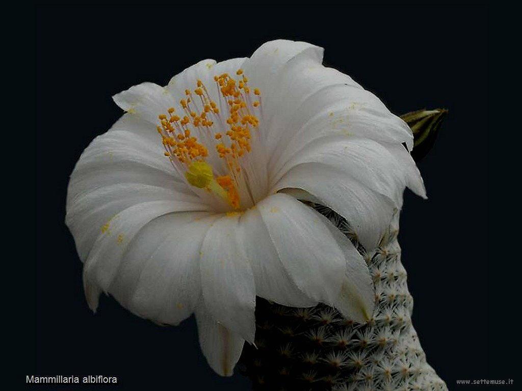 cactus 213