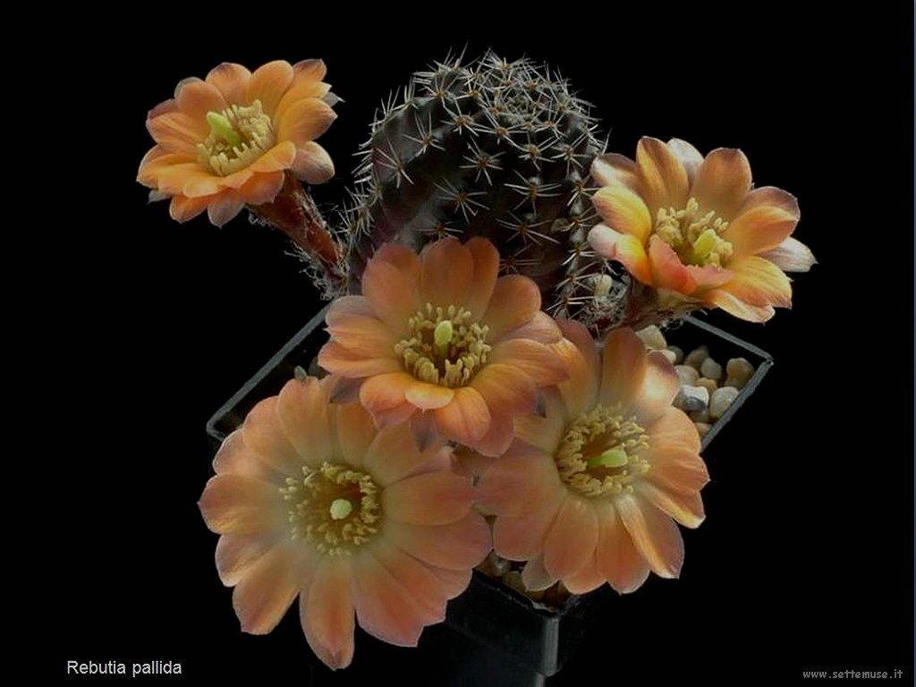 cactus 214