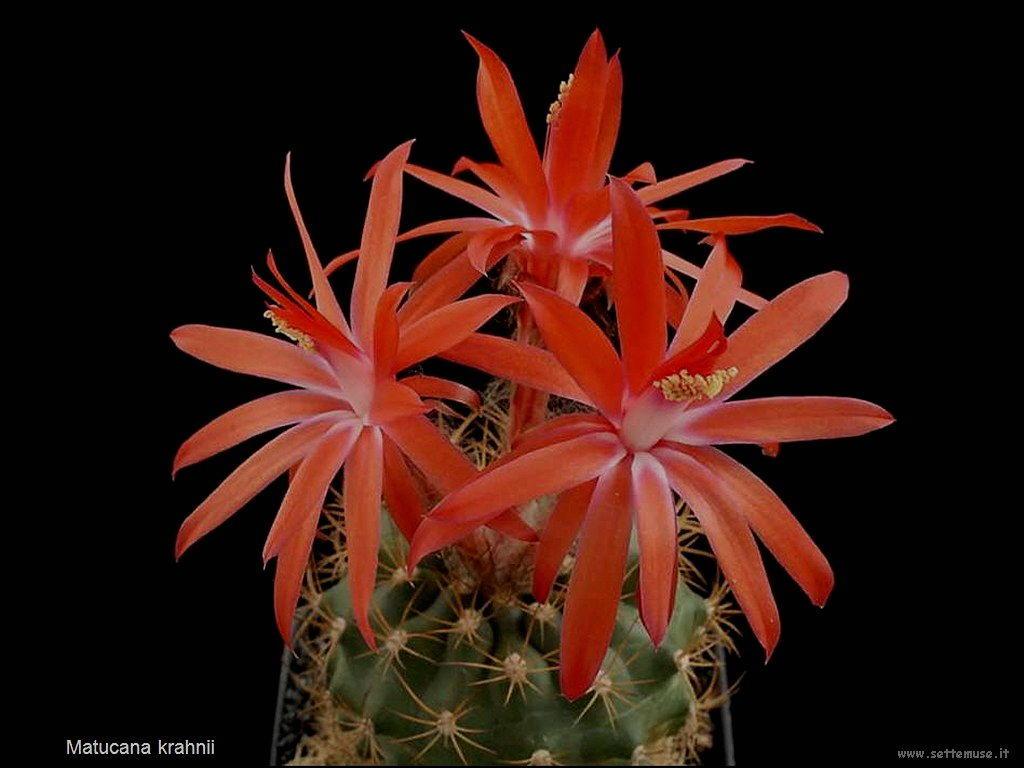 cactus 215