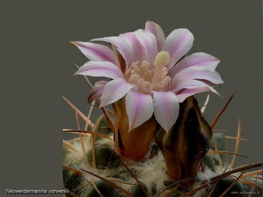 cactus 216