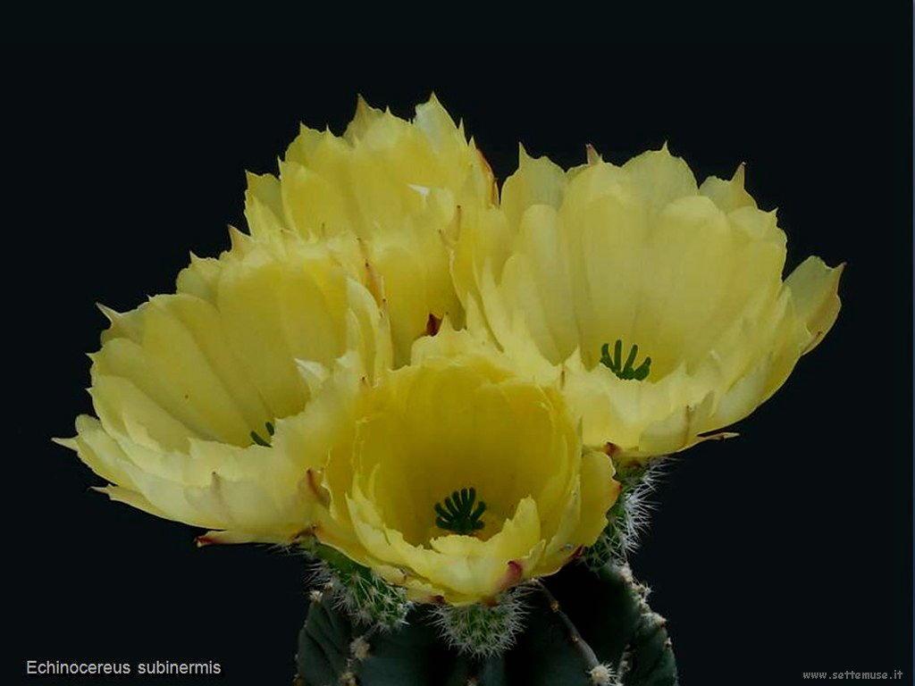 cactus 221