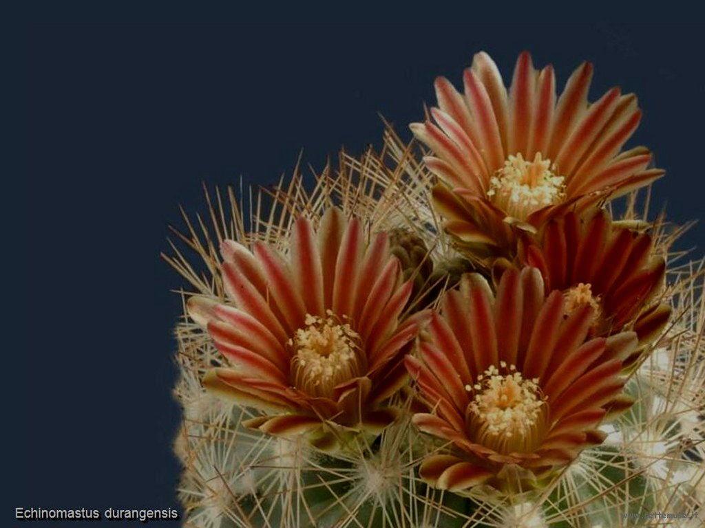 cactus 222