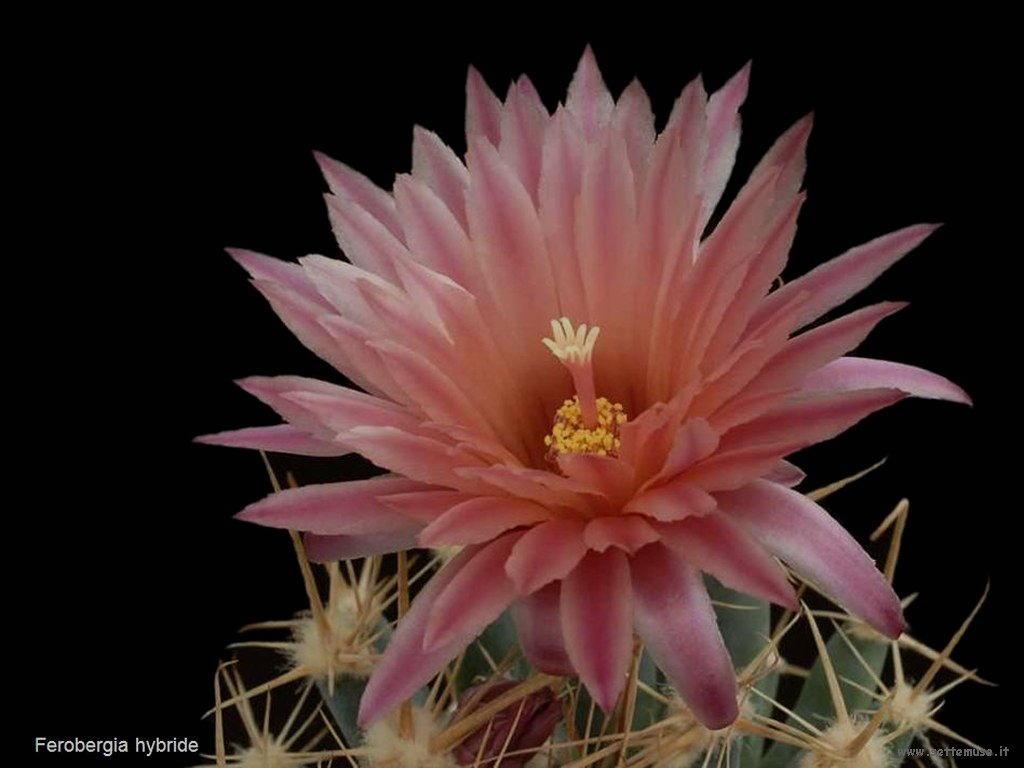 cactus 223