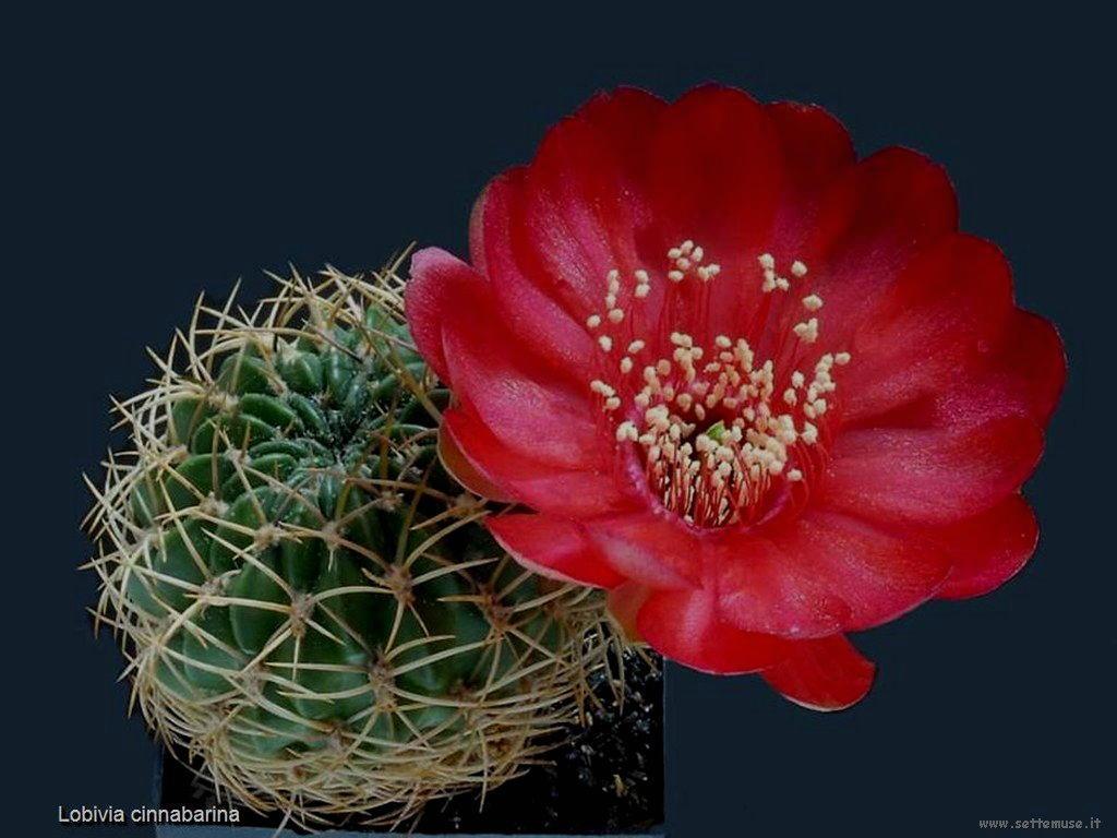 cactus 224