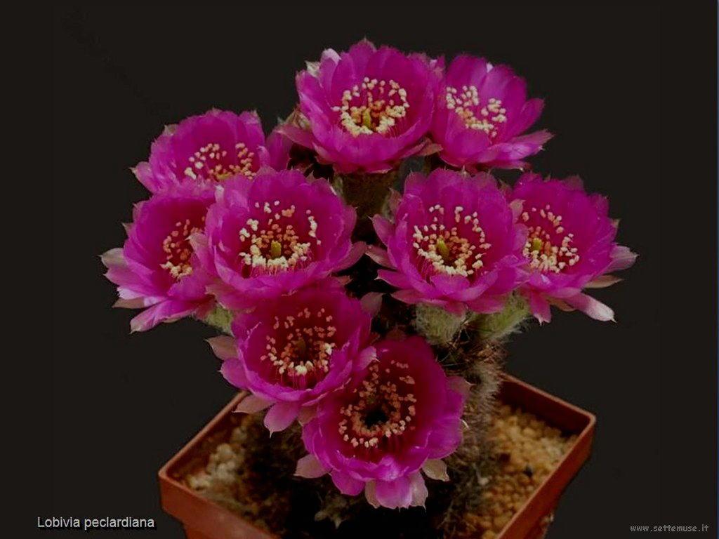 cactus 225