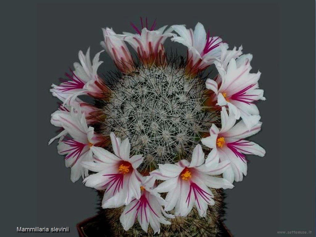 cactus 226