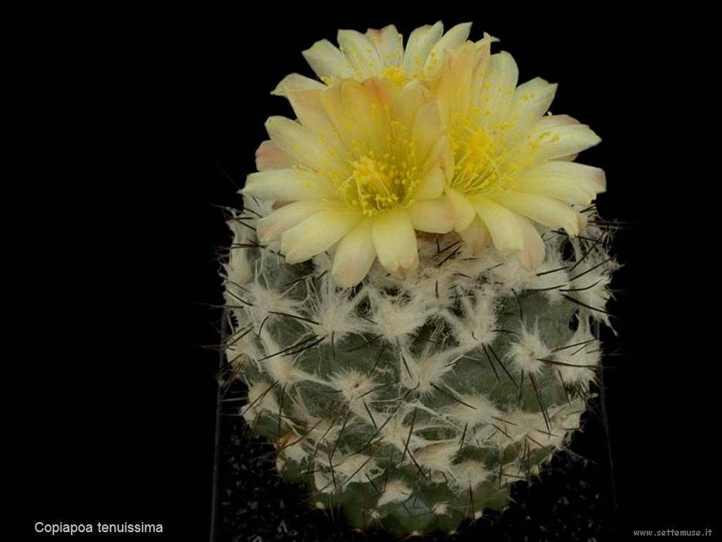 cactus 227