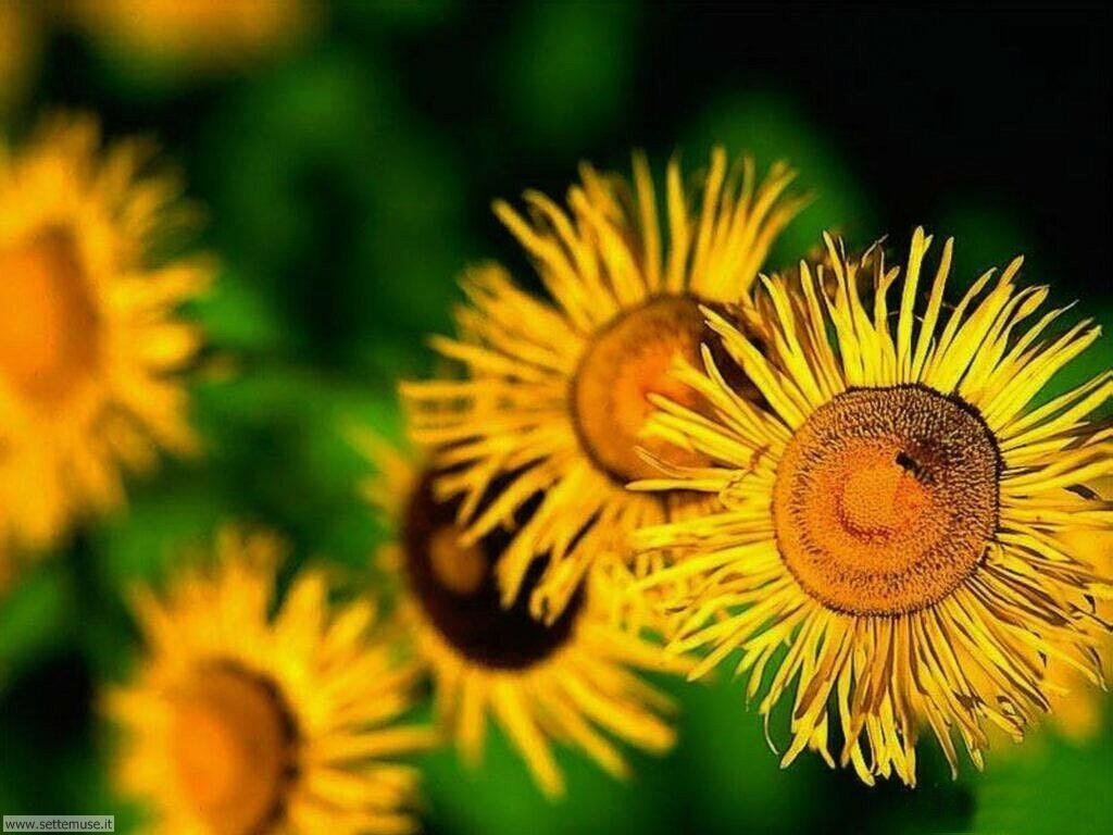 fiori 3 7
