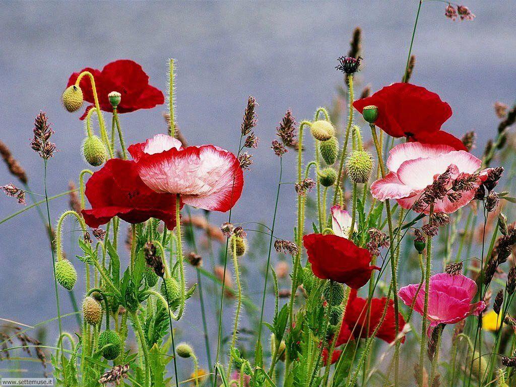 fiori 3 16