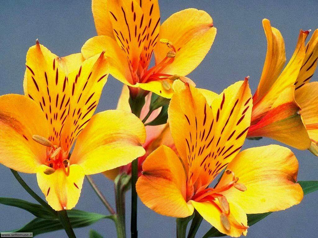 fiori 3 17