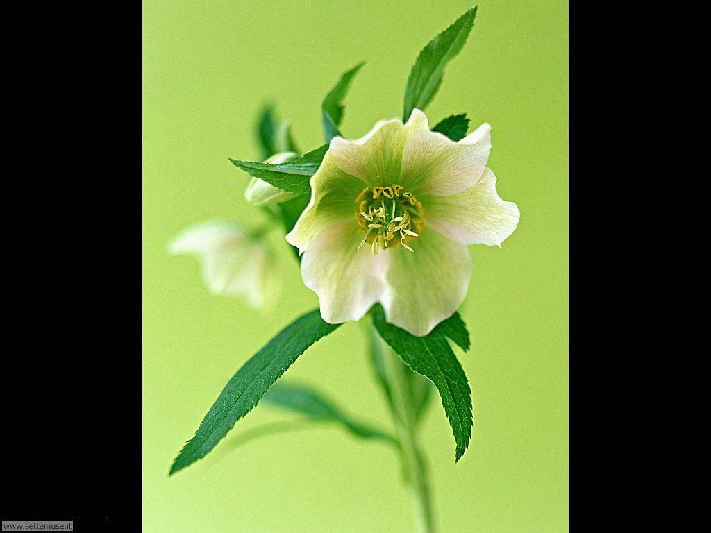 fiori singoli 1
