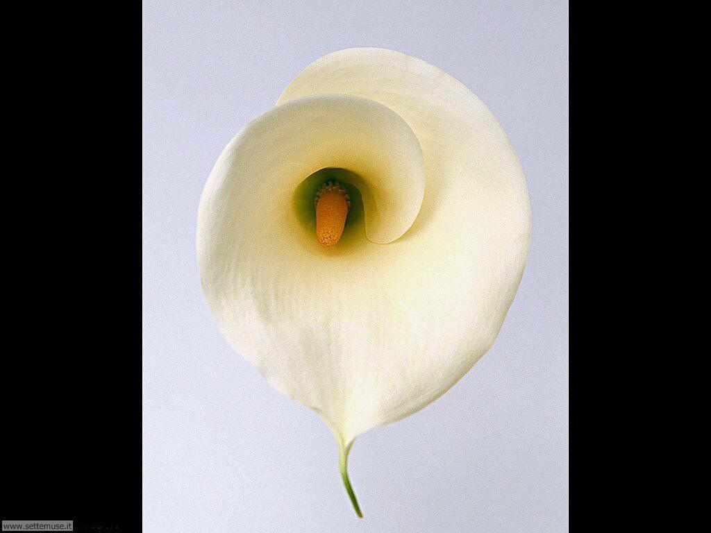 fiori singoli 5