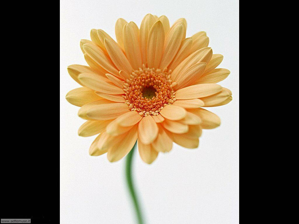 fiori singoli 12