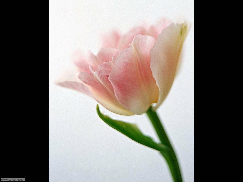 fiori singoli 15