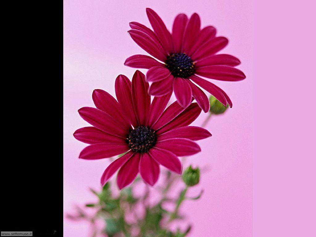fiori singoli 18