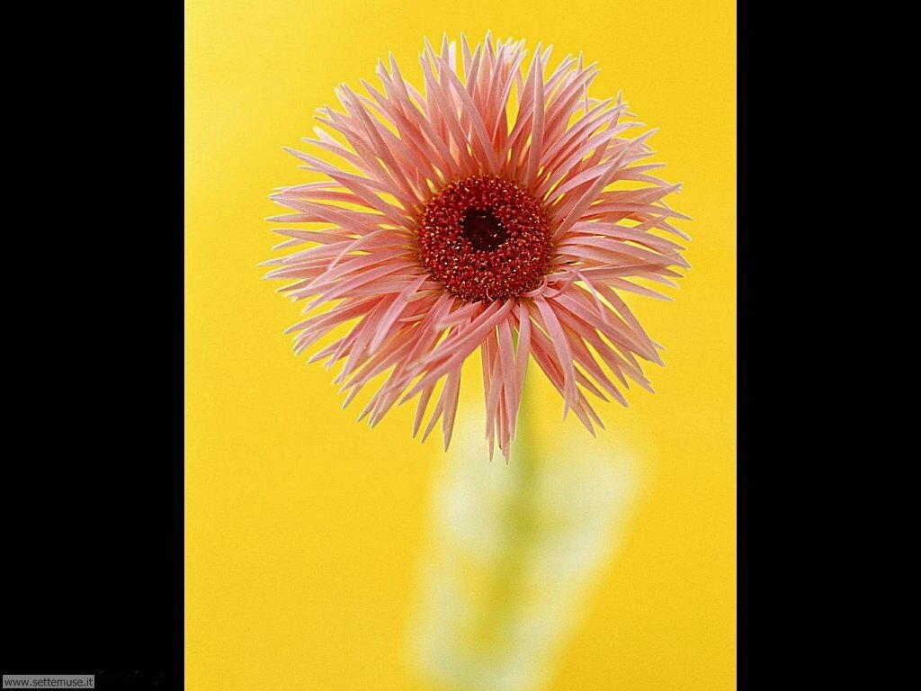 fiori singoli 021