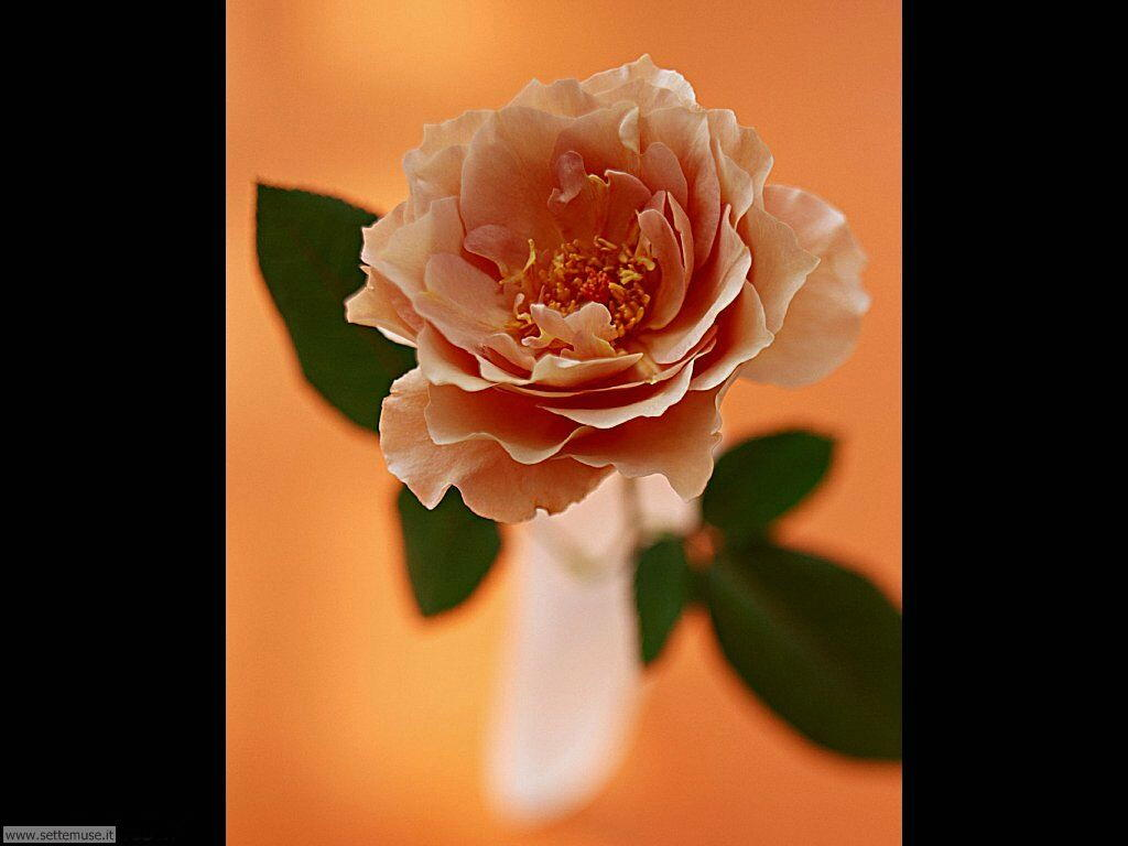 fiori singoli 023