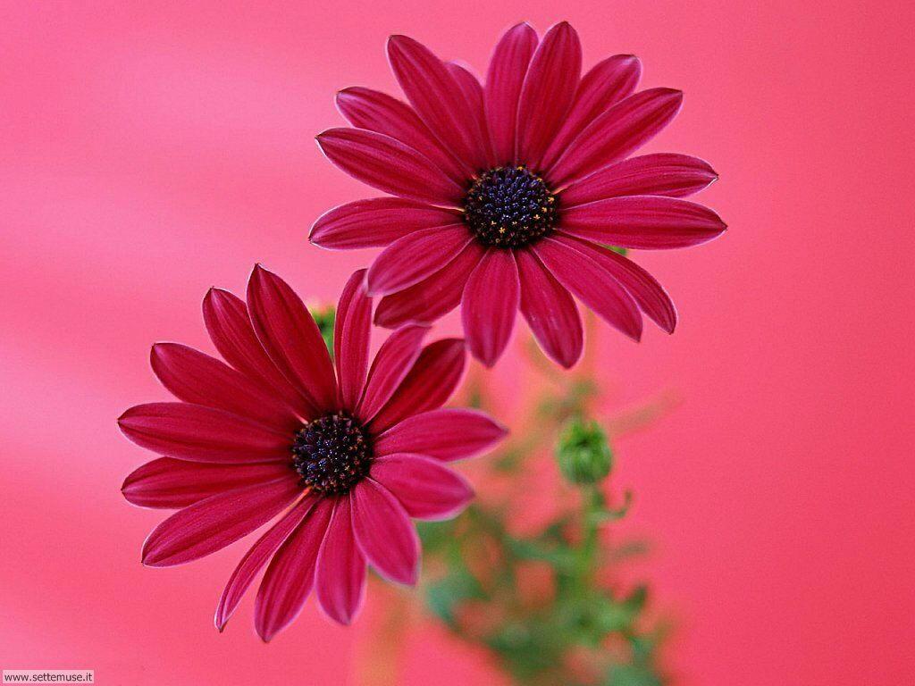 Foto fiori singoli per sfondi for Fiori gerbere