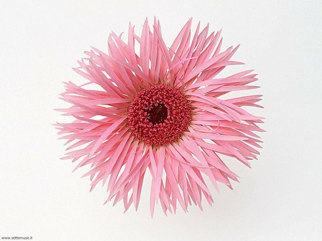 fiori singoli 028