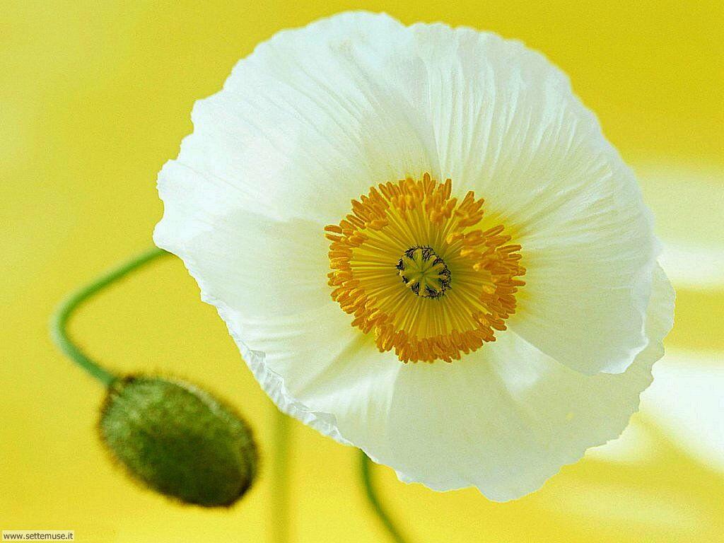 fiori singoli 030