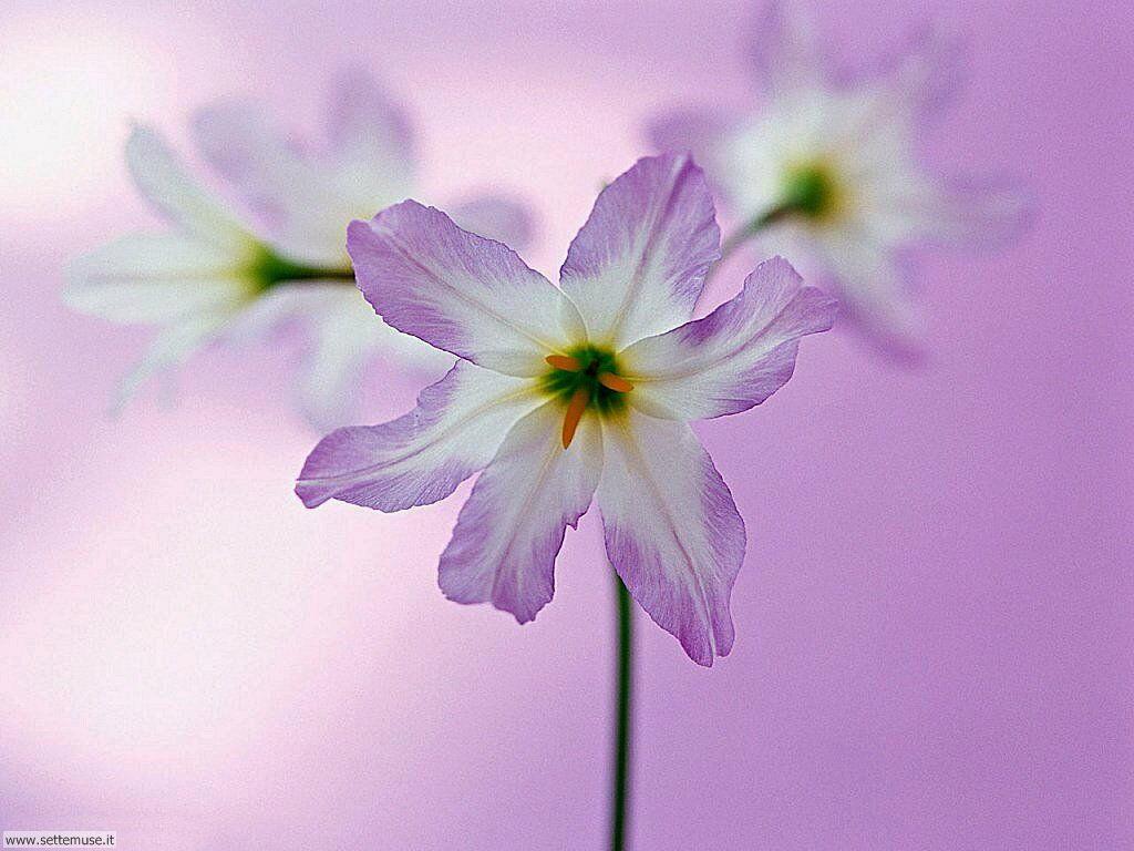 Foto fiori singoli per sfondi for Immagini per desktop fiori