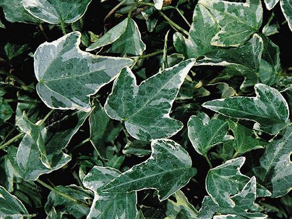 foto di foglie 130