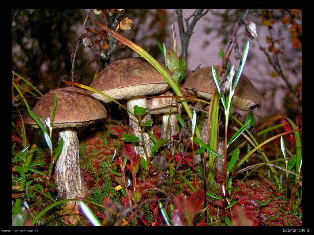 funghi/Boletus edulis5