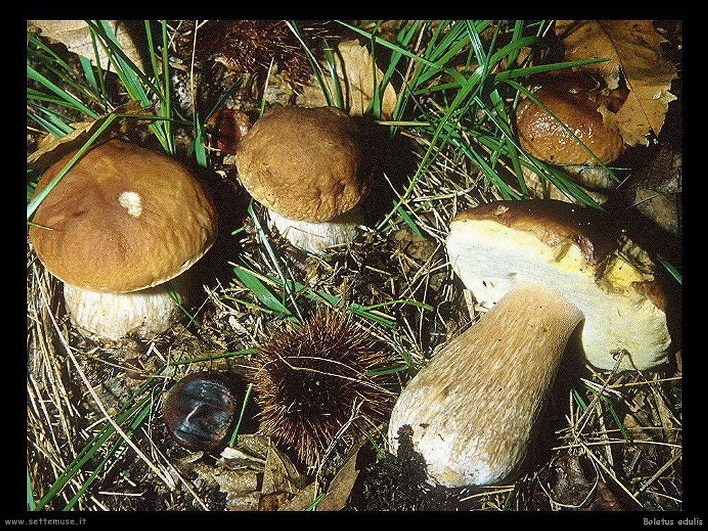 funghi/Boletus_edulis4