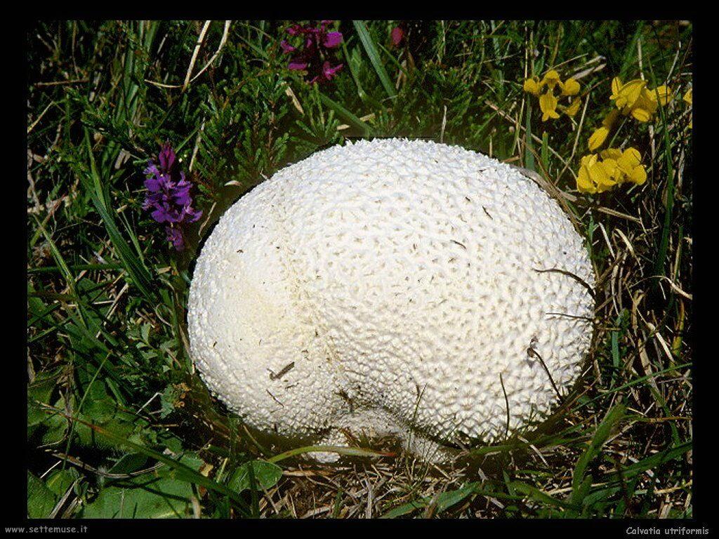 funghi/Calvatia_utriformis3
