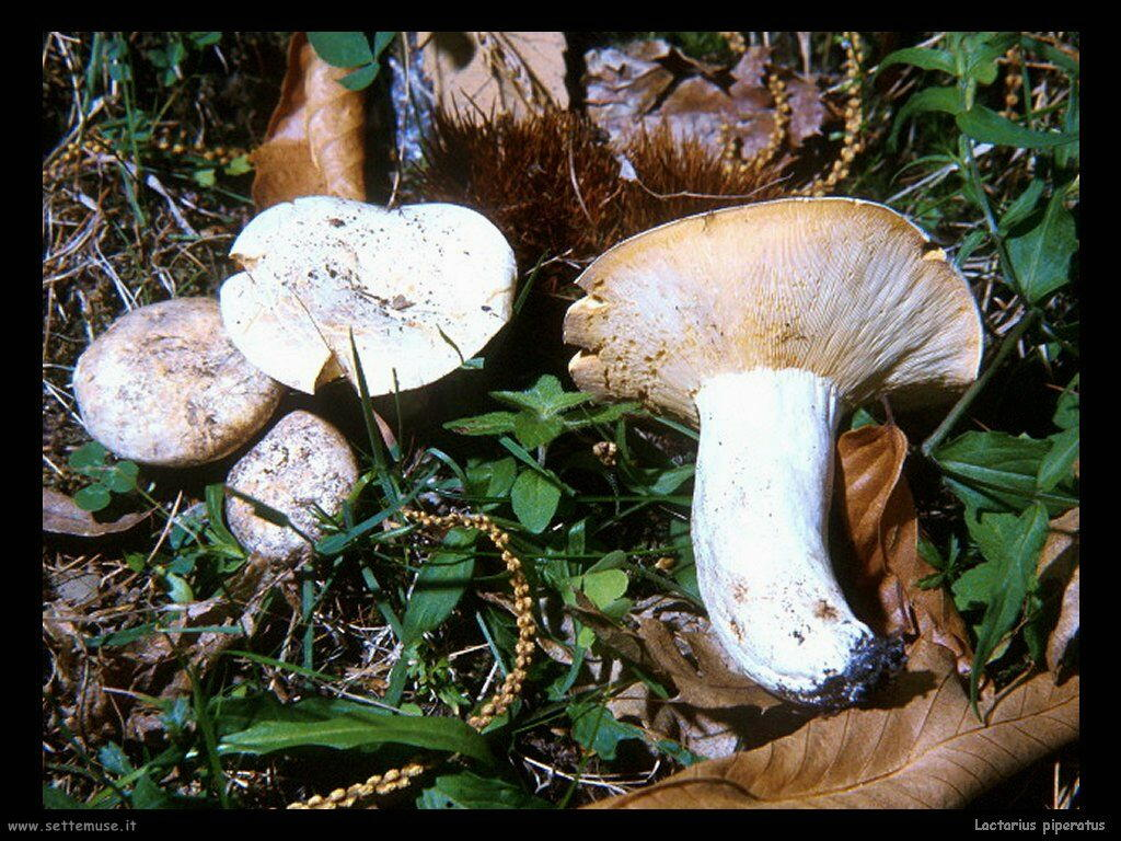 funghi/Lactarius_piperatus2