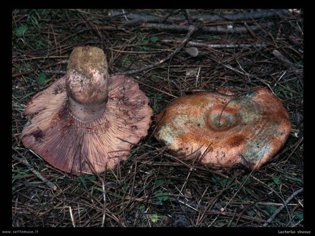 funghi/Lactarius_vinosus