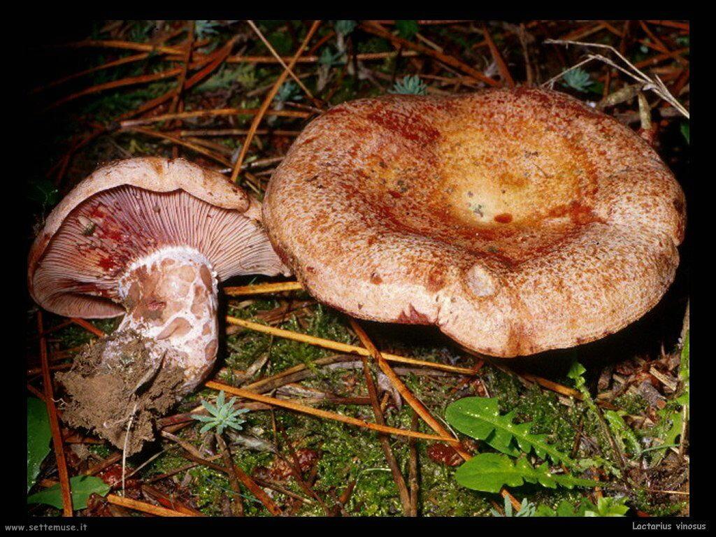 funghi/Lactarius_vinosus2