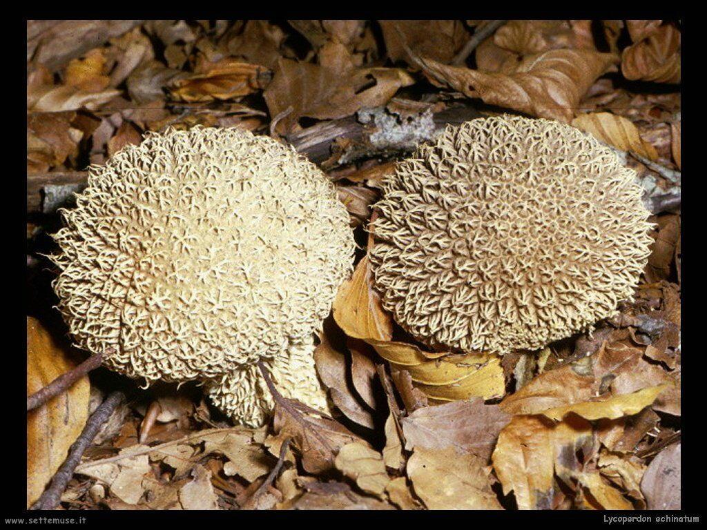 funghi/Lycoperdon_echinatum