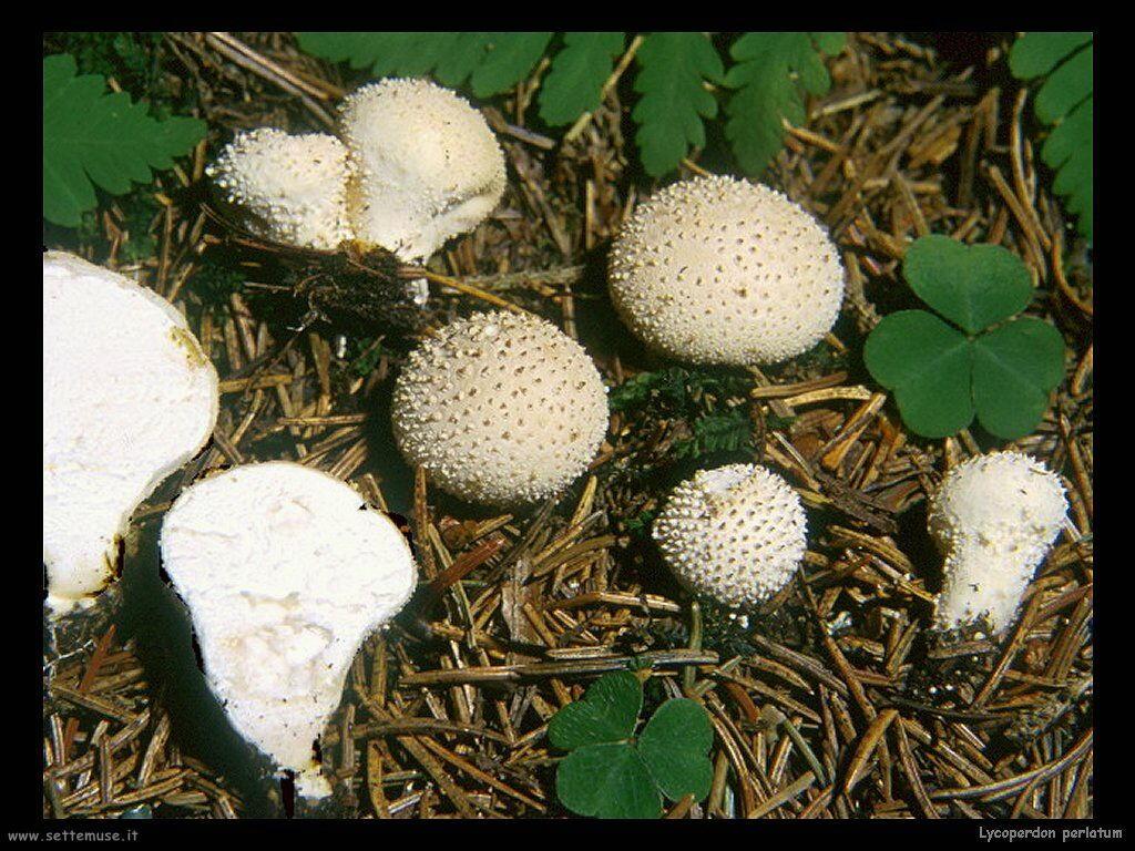 funghi/Lycoperdon_perlatum2