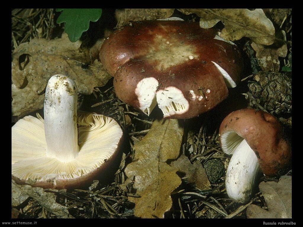 funghi/Russula_rubroalba