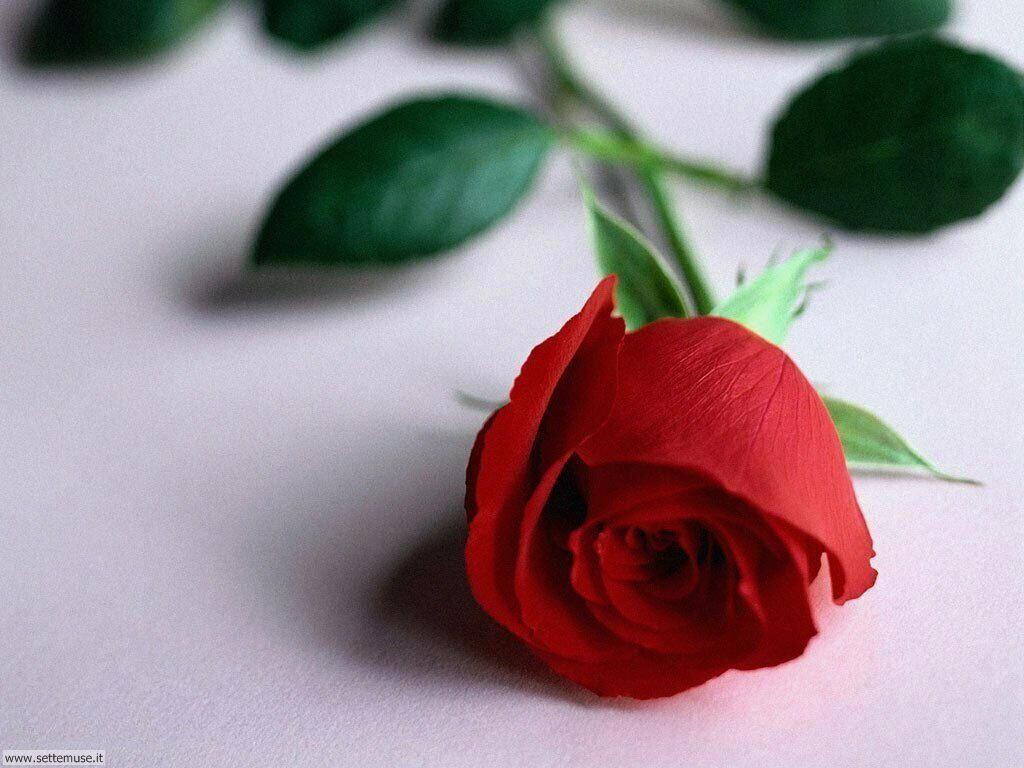 foto amore e innamorati per sfondi 031.jpg rosa rossa