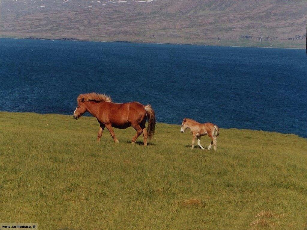 islanda_001_cavallini_islandesi
