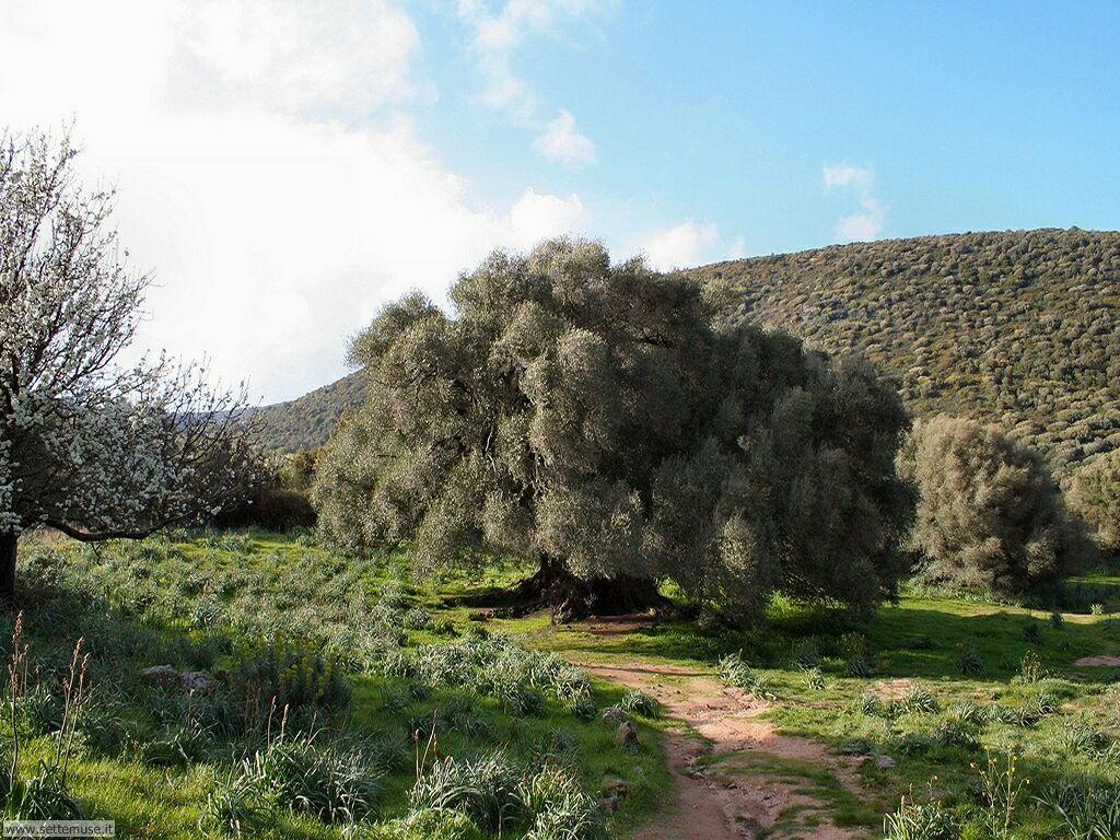 san baltolu di luras olivastro di 3000 anni