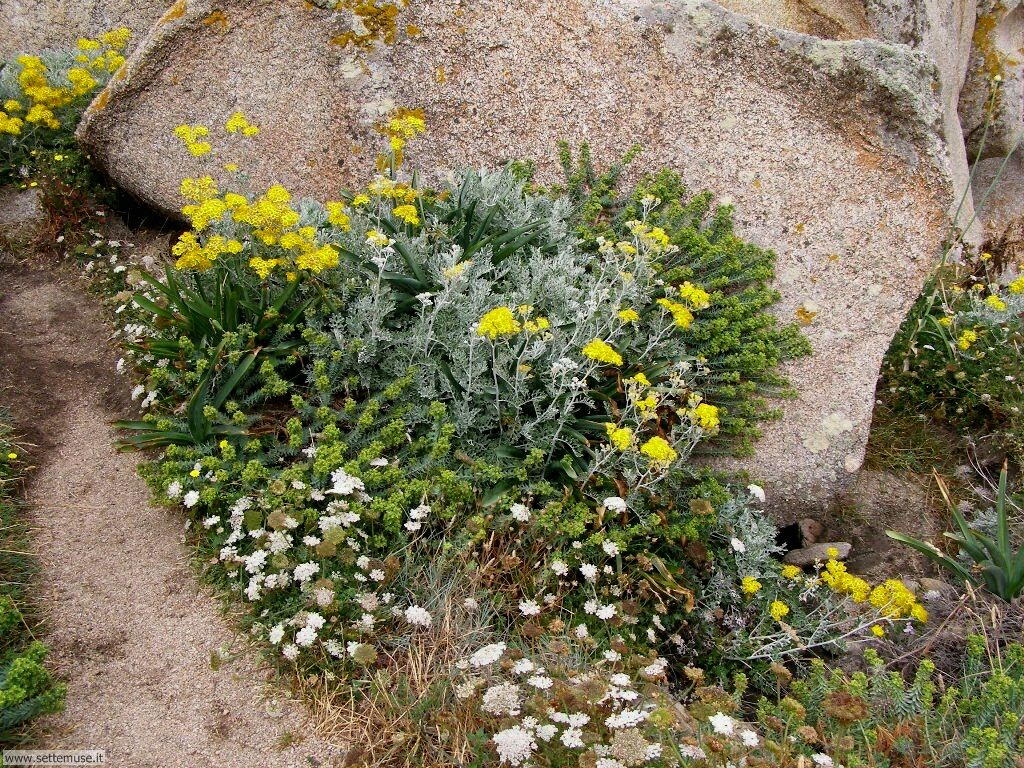 fiori della sardegna 020