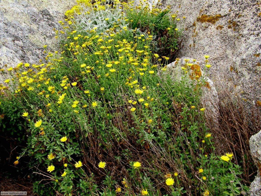 fiori della sardegna 021