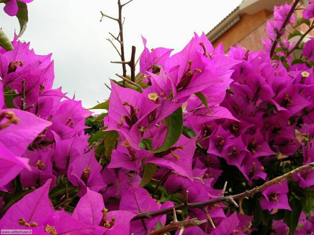 fiori della sardegna 025