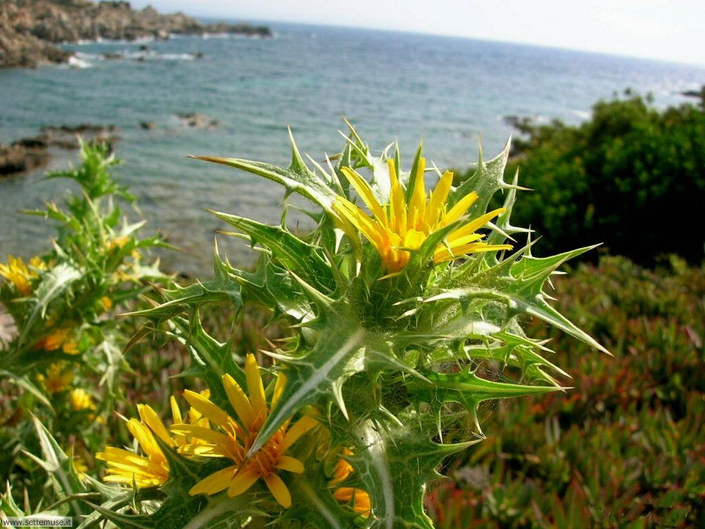 fiori della sardegna 031