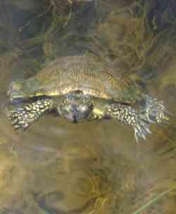 Marina di Alberese tartaruga