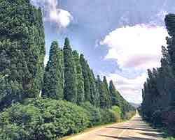 Bolgheri - Cipressi davanti a san Guido