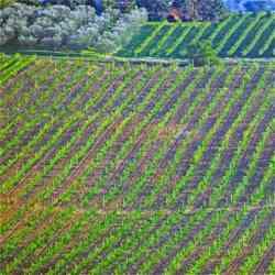 Montefalco - Vigne del Sagrantino