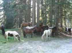 Cavalli da sella in Val Visdende